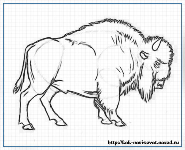 Как карандашом рисовать быка зубра или бизона