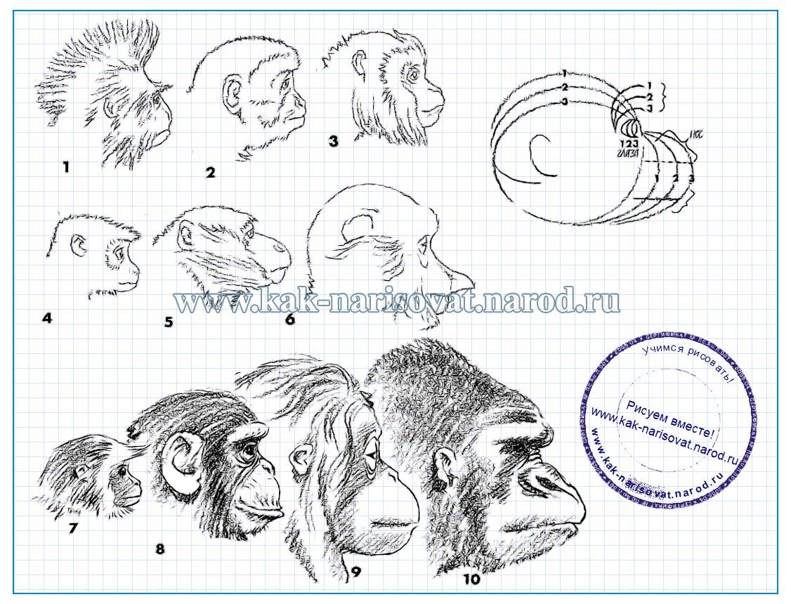 как нарисовать голову, морду обезьяны
