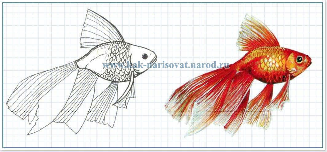 раскараска - картинка золотой рыбки