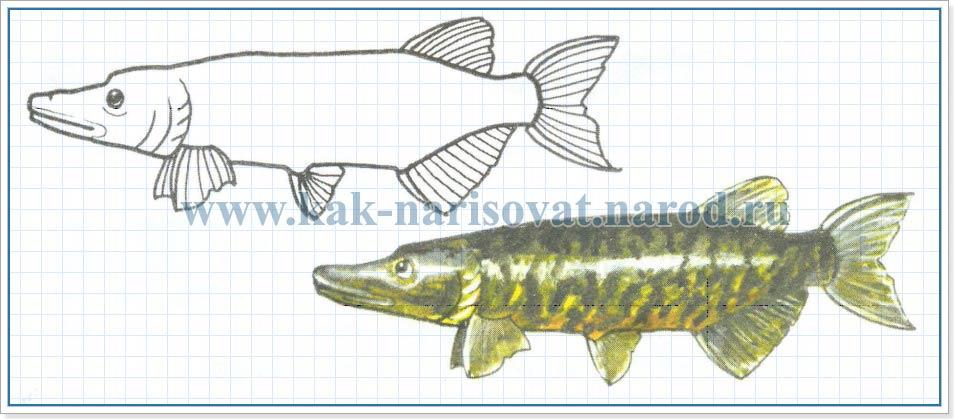 Как рисовать рыбок - щуку